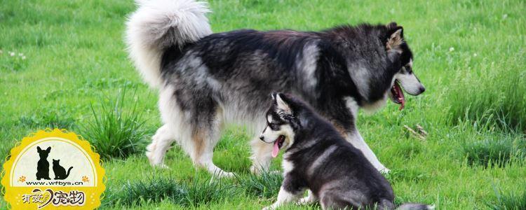 狗狗在发情期间体温会升高吗 狗狗发情期主人注意事项!